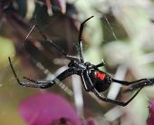 stock photo of black widow spider  - A Deadly Black Widow Spider Waits in its Web - JPG