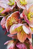 stock photo of lenten  - beautiful close up of a hellebore flower in a bright sunny spring morning with water drops on it - JPG