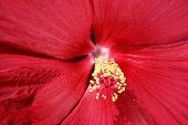 Hibiscus - Close
