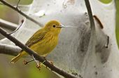 Yellow Warbler Foraging
