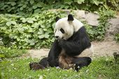 Giant Panda - Ailuropoda melanole at the Beijing Zoo