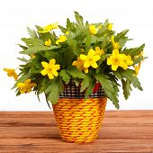 stock photo of celandine  - spring flowers yellow celandine  - JPG