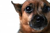 a close up of a chihuahua's face (focus on the eye)