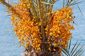 Date Palm Tree With Unripe Colorful Fruit Clusters
