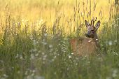 The buck deer in the wild