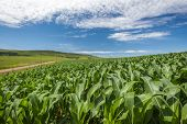image of maize  - Maize corn food crop growing in rural mountain farming countryside in summer blue weather - JPG