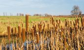 image of cattail  - Detailed view at brown blooming Broadleaf Cattail or Typha latifolia against its natural background in the autumn season.