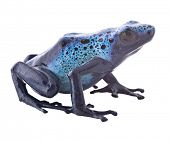 Blue poison dart frog, Dendrobates azureus from the tropical Amazon rain forest in Suriname. Beautiful exotic and poisonous rainforest animal isolated on white.