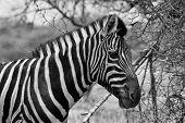 Zebra Head Side Profile Picture Balck And White
