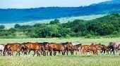 Herd of Arabian horses on the field returns home.