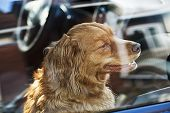 picture of animal cruelty  - Portrait of australian shepherd dog locked in car - JPG