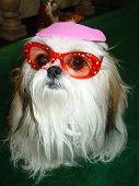 Doggie Wearing Sunglasses poster