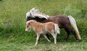 image of colt  - Lovely  brown Shetland pony and her colt - JPG