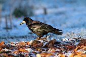 Corvus Frugilegus Foraging On Ground