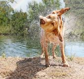 a lab mix shaking off water after swimming in a local river