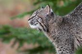Bobcat Kitten (Lynx rufus) Looks Up And Left
