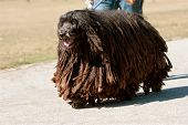 Bergamasco Italian Sheepdog With Dreadlocks Walks Through Park