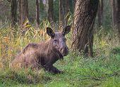 Eurasian Elk Or Moose
