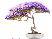 stock photo of bonsai  - Bonsai potted tree  - JPG