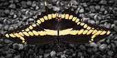 Sunning Black Swallowtail