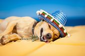 picture of dizziness  - drunk chihuahua dog having a siesta with crazy and funny silly face - JPG
