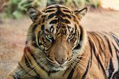 The Sumatran Tiger is a rare tiger subspecies that inhabits the Indonesian island of Sumatra and cla