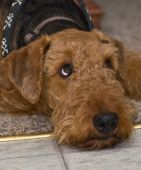 Airedale Terrier Dog Laying Down And Looking Up