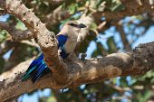 A Blue-bellied Roller (coracias Cyanogaster) Perched In A Fig Tree