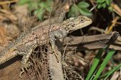 A Female Agama Lizard Resting On A Fallen Palm Leaf