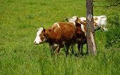 cow grassland