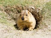 stock photo of marmot  - Funny marmot in the hole  - JPG