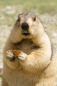 pic of marmot  - Funny marmot with bisquit on the meadow  - JPG