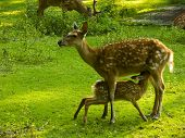 Hind With Fawn