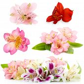 Collage of alstroemeria flowers isolated on white