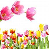 Fresh spring tulips isolated on white