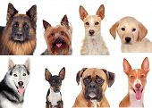 Photo collage of different breeds of dogs isolated on a white background