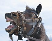 Funny portrait of smiling horse with unreal white teeth
