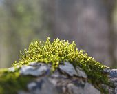 image of lichenes  - old tree bark with moss on it