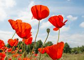 Red Flowering Translucent Poppies Against A Blue Sky.