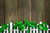 Sunlight on greenery hanging over white picket fence