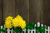 Bright yellow flowers hanging over white picket fence