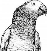Vintage engraving. Old engraved illustration of a Grey parrot
