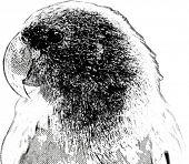Vintage engraving. Old engraved illustration of a parrot