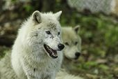 pic of horrific  - An Arctic Wolf in a wilderness setting - JPG
