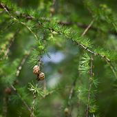 Relaxing larch greenery: closeup of European larch (Larix decidua) foliage with cones (selective foc