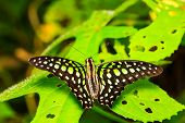 Tailed Jay Butterfly Resting On Plant