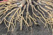 Adenium Root