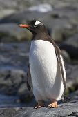 Gentoo Penguin Standing On The Rocks 1