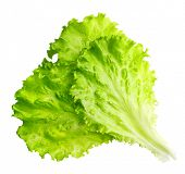 Lettuce leaves isolated on white background.