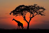 Red sunset with silhouetted African Acacia tree and a giraffe, Kenya